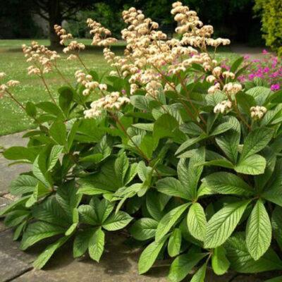 Саженцы декоративных многолетних растений